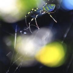 「逆光に映える蜘蛛」