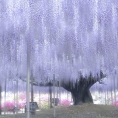 「樹齢140年」