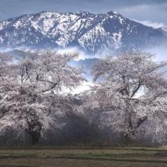 「春日影」
