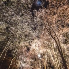 「月夜のしだれ桜」